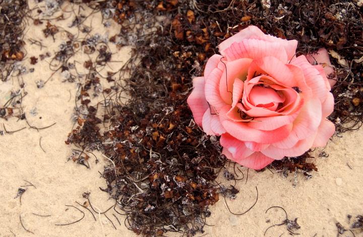 ngd-90-dsc_8445_beach-rose.jpg