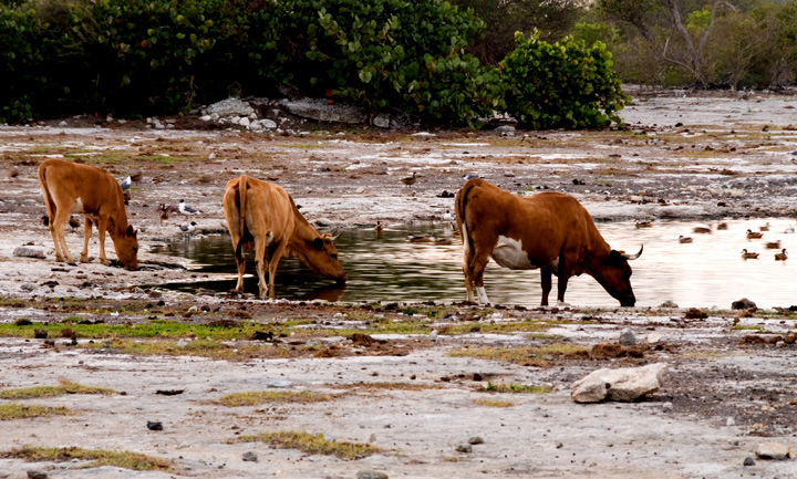 dsc_5445-three-cows-drinkin.jpg