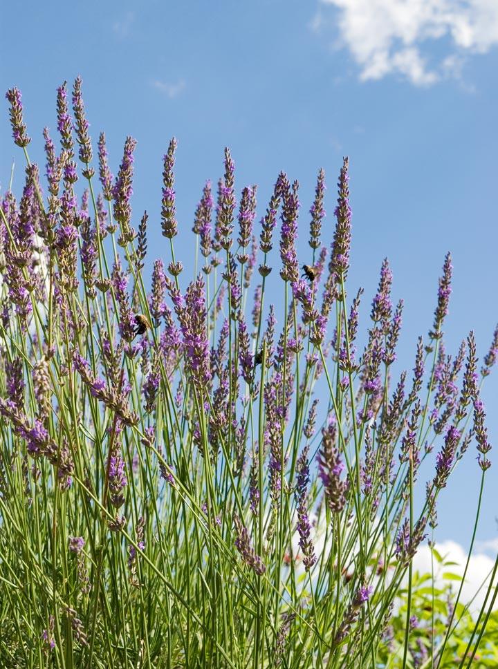 dsc_6549-lavendar.jpg