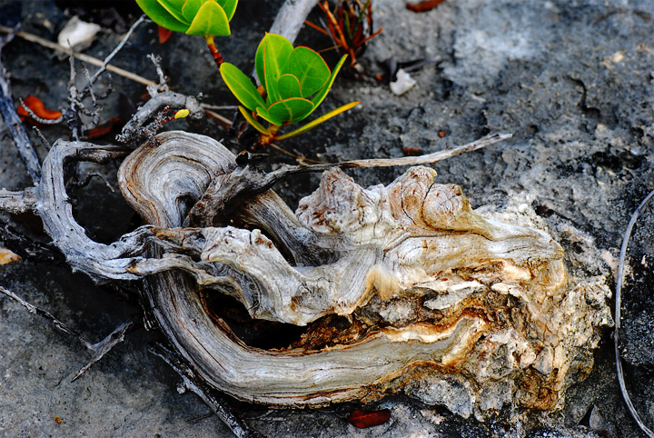 Driftwood is some of Nature's best sculpture.  Wonderful that we can only find it as a throw-away from the sea.  Great example of recycling.  — RM —