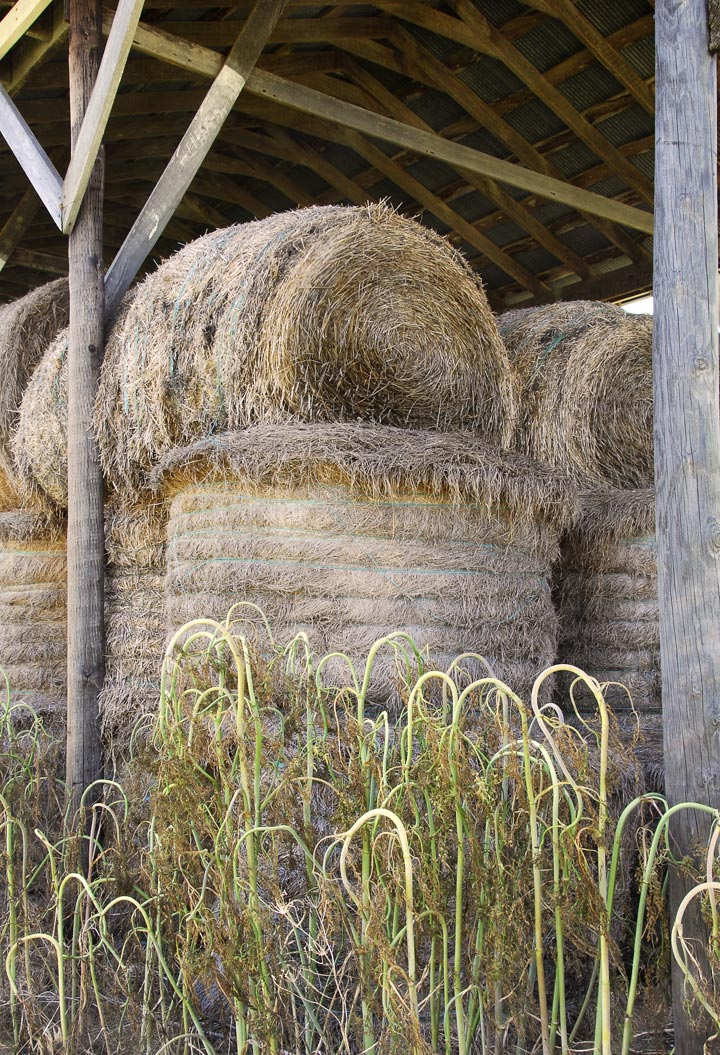 """Have you noticed how most bales of hay are now round, not rectangular.  What happened?  The circles are really more appealing in the fields, but I can't imagine storage isn't more difficult.  My nieces and their high school footballer friends were yearly pressed into service around July 4th for """"balin'"""" - hard, heavy and hot work.  Not sure they could have lifted these, though.   — RM —"""