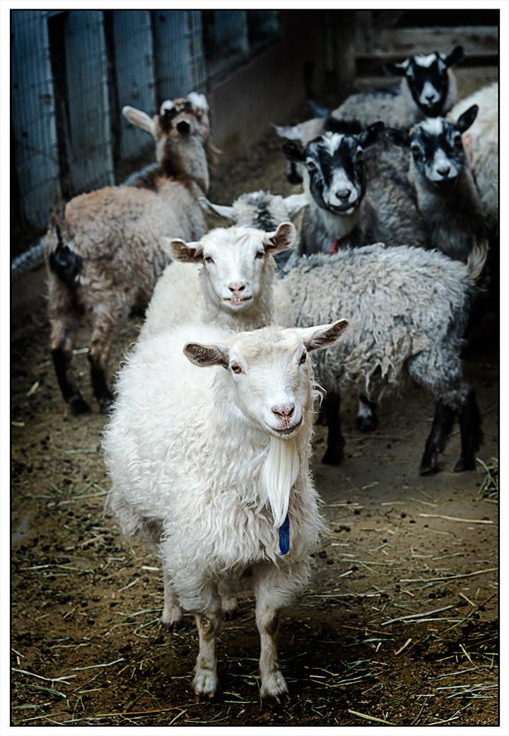 DSC_1122-shellys-sheep