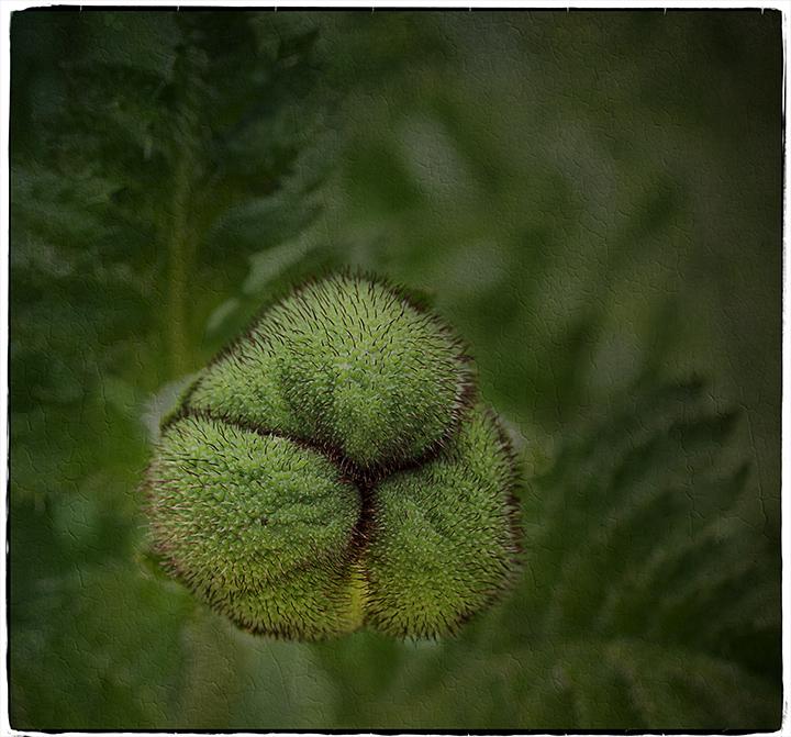 DSC_8270-poppy-head