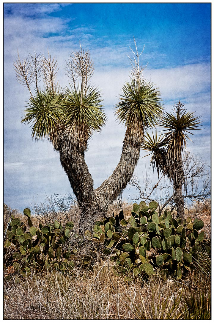 _dsc0211-yucca-tree-soaptree-yucca
